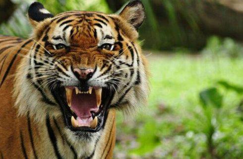 کرونا و حیوانات؛ ببر باغ وحش نیویورک هم پس از گربهای در بلژیک «کووید ۱۹» گرفت+فیلم
