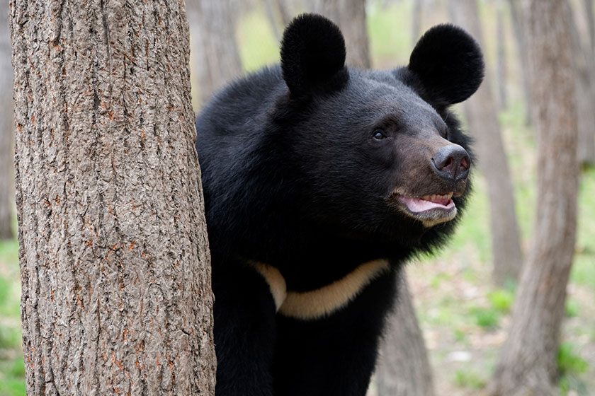 ثبت رکورد حضور خرس سیاه آسیایی برای اولین بار در شهرستان ریگان. استان کرمان بیشترین پراکنش را در میزبانی خرس سیاه یقه هفت دارد
