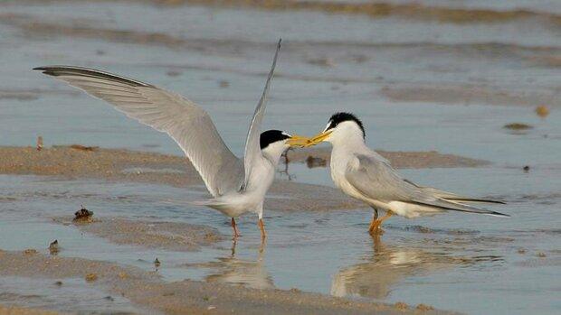 آغاز عملیات آماربرداری از پرندگان آبزی و کنار آبزی زمستان گذران استان بوشهر