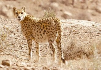 آغاز فاز دوم پایش یوزپلنگ ایرانی با نصب دوربین تله ای در پناهگاه حیات وحش میاندشت