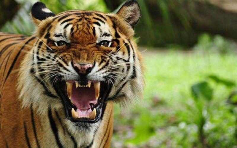 محیط زیست در جریان مرگ ببر باغ وحش صفادشت بود