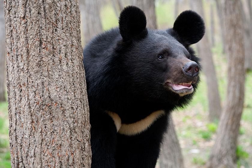 خرس سیاه بلوچی به زیستگاه خود برگشت