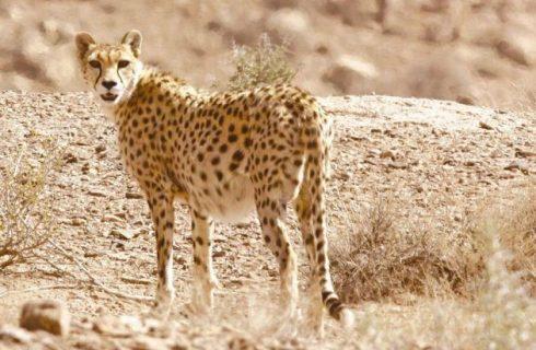 چهار قلاده یوزپلنگ در میاندشت خراسان شمالی مشاهده شد